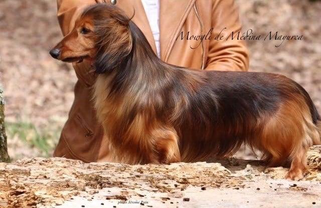 CH. Mowgli medina mayurca