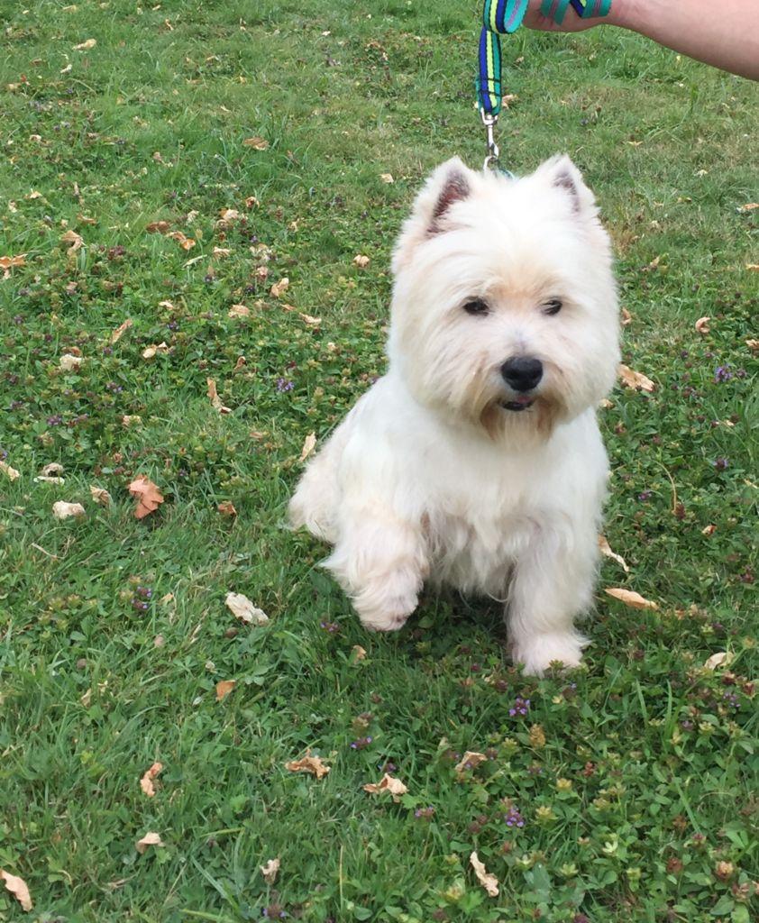 West Highland White Terrier - Junior des Ormeaux d'Antan