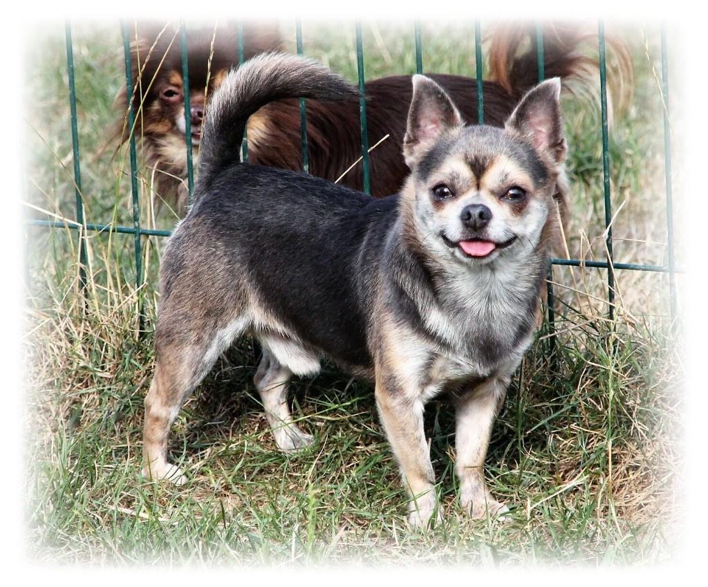 Chihuahua - Just