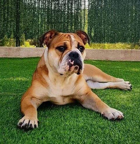 Le Standard de la race Bulldog continental sur Atara.com