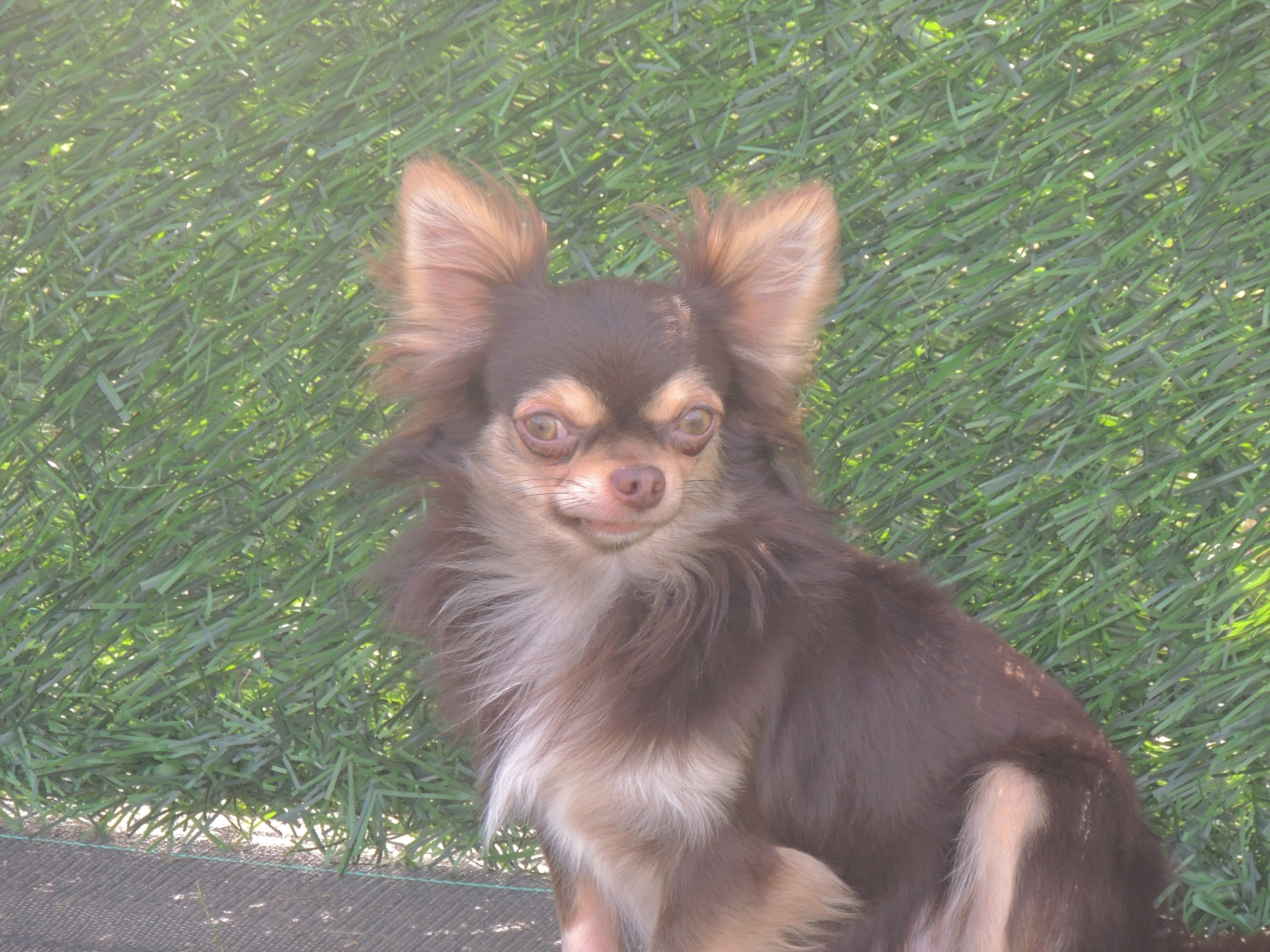 Chihuahua - Nocciollata milkshake de l'Eden des Petits Monarques
