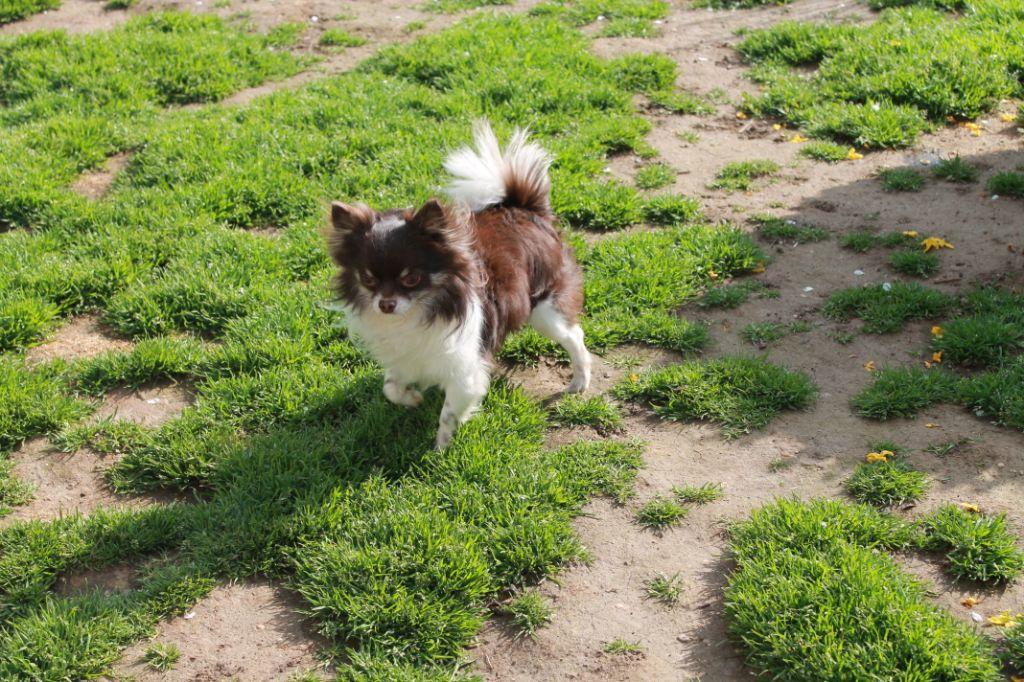 Les Chihuahua de l'affixe Du Val De Clavernau