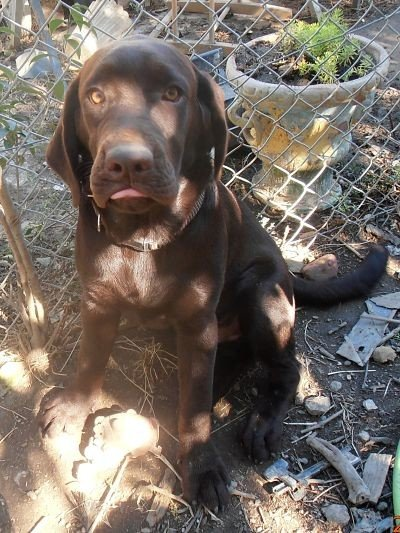 Labrador Retriever - Osiris Des terres Vertes