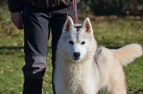 Siberian Husky - Madison avenue of Arctic Wolf Dream
