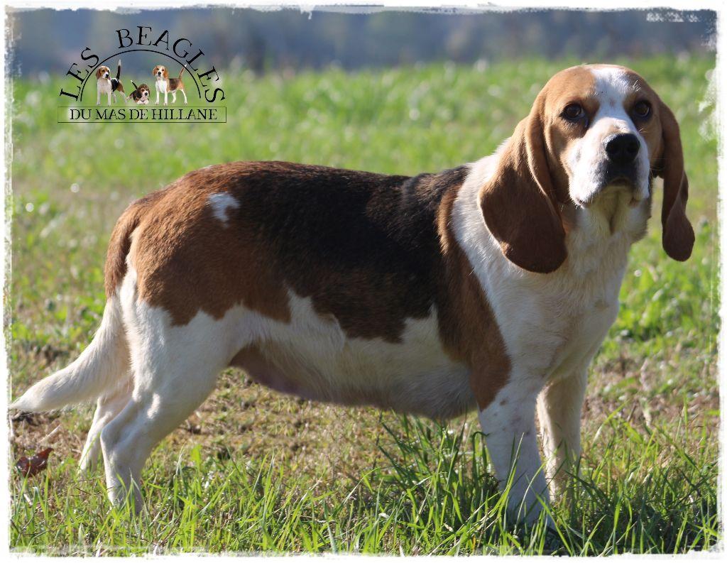 Les Beagle de l'affixe Du Mas De La Hillane