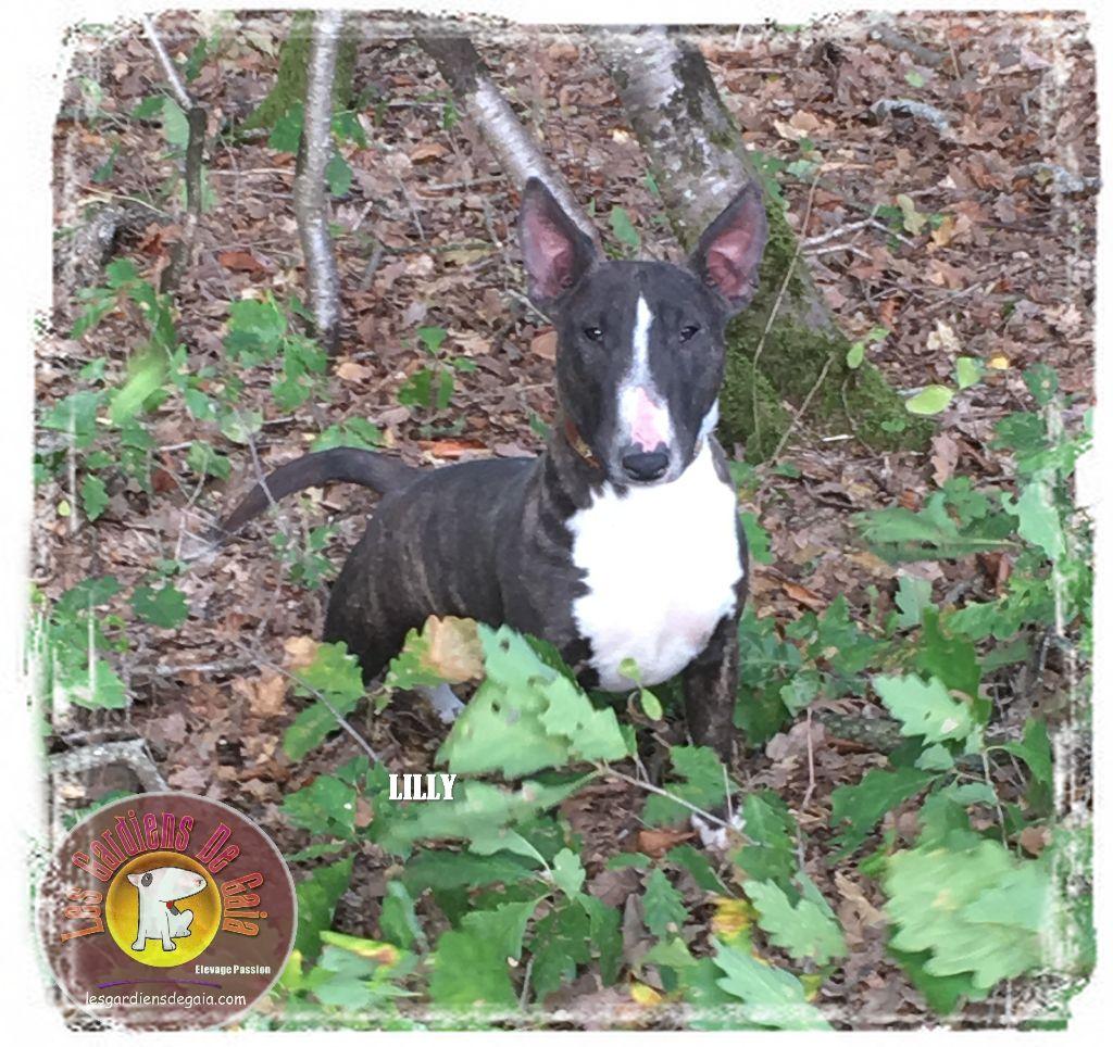 Bull Terrier Miniature - No limit Des gardiens de gaia