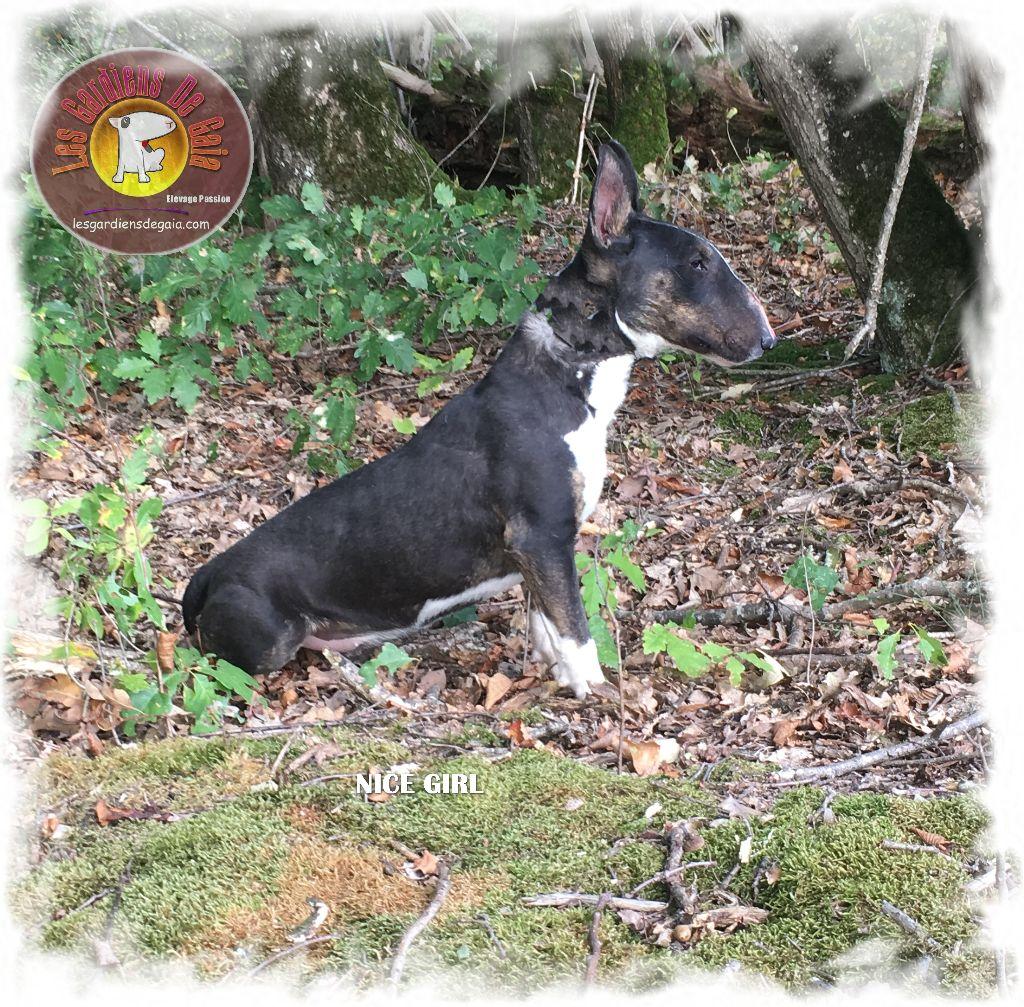 Bull Terrier Miniature - Nice girl Des gardiens de gaia