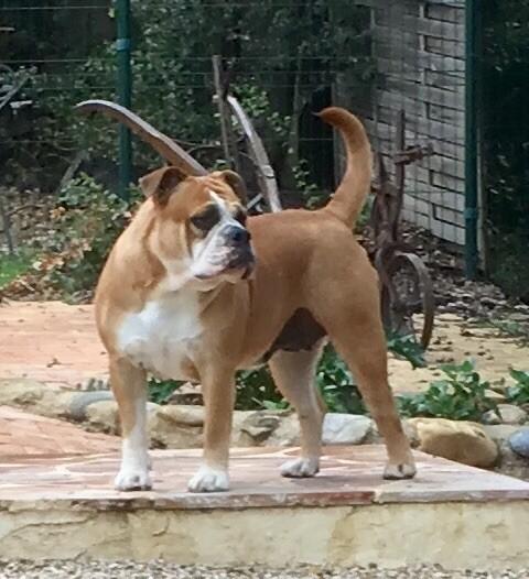 Les Bulldog continental de l'affixe de la Borde Riva