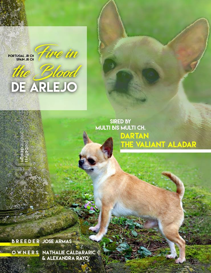 Chihuahua - CH. Fire in the blood de arlejo
