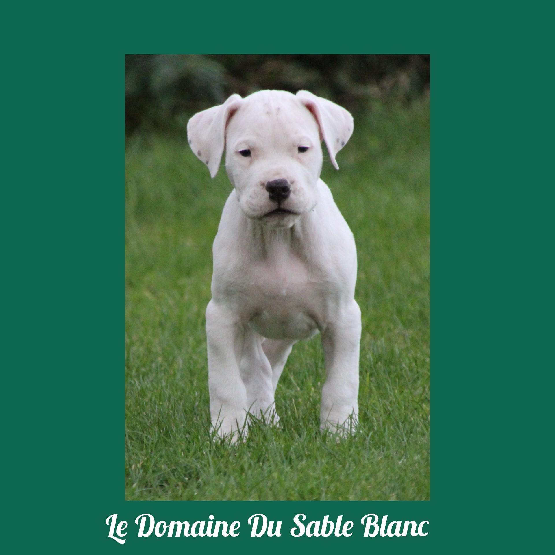 Otcho du Domaine du Sable Blanc Dogo Argentino