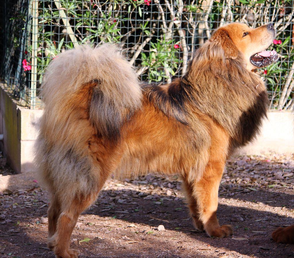 Les Dogue du Tibet de l'affixe De Tetiaroa