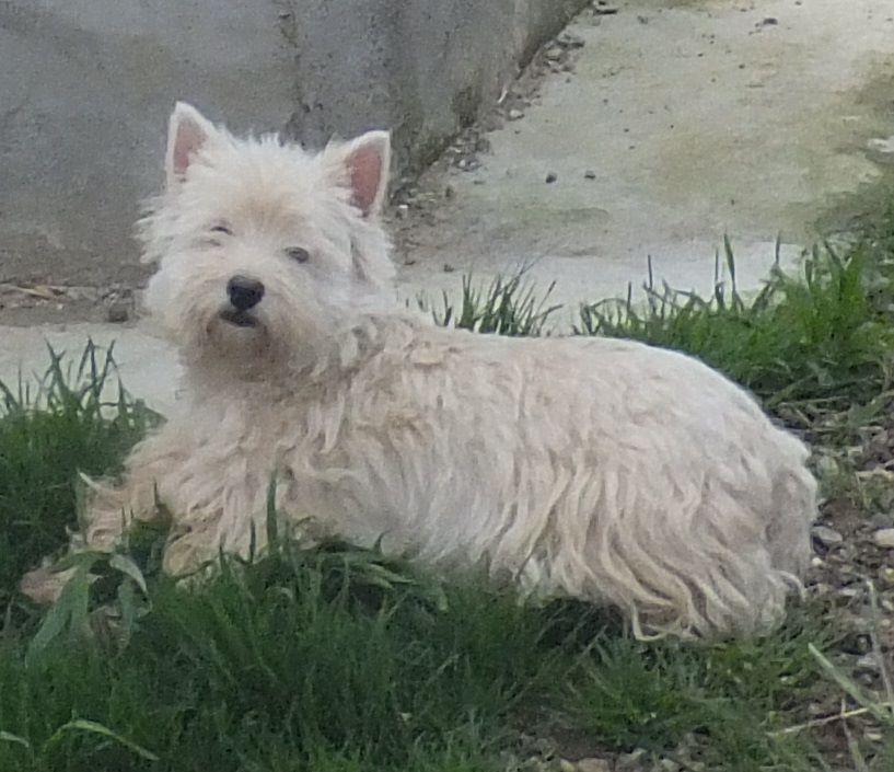 Les West Highland White Terrier de l'affixe Du Domaine Des Beautés Divines