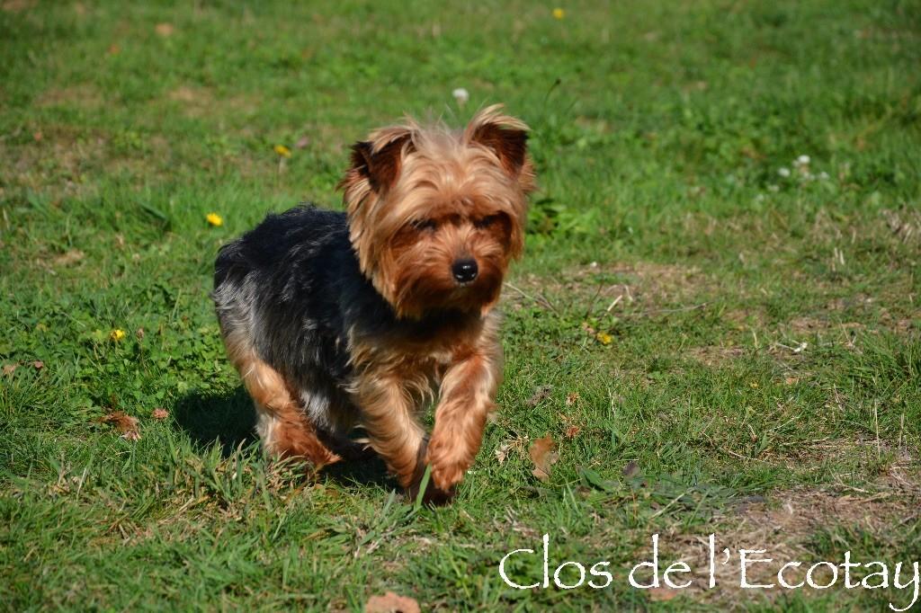 Les Yorkshire Terrier de l'affixe Du Clos De L'Ecotay