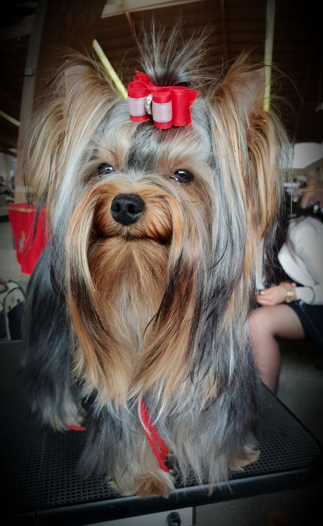 Yorkshire Terrier - Noisette deliette du Mas des Anges