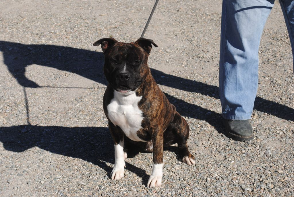 American Staffordshire Terrier - Neron du royaume d'Isis