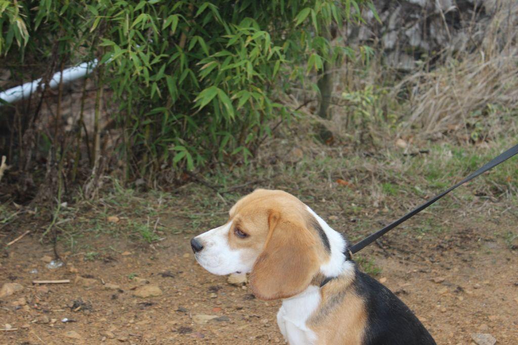 Beagle - Ouspyl des bruyeres du marjon
