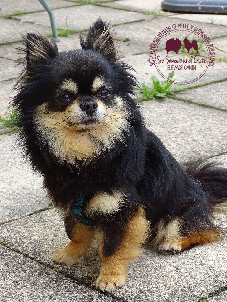 Chihuahua - Marlon brendo De L'Eden Des Petits Precieux