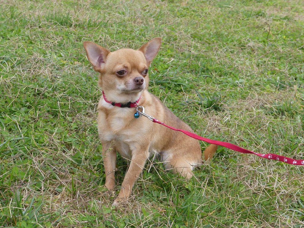 Les Chihuahua de l'affixe du Domaine des Ecorces