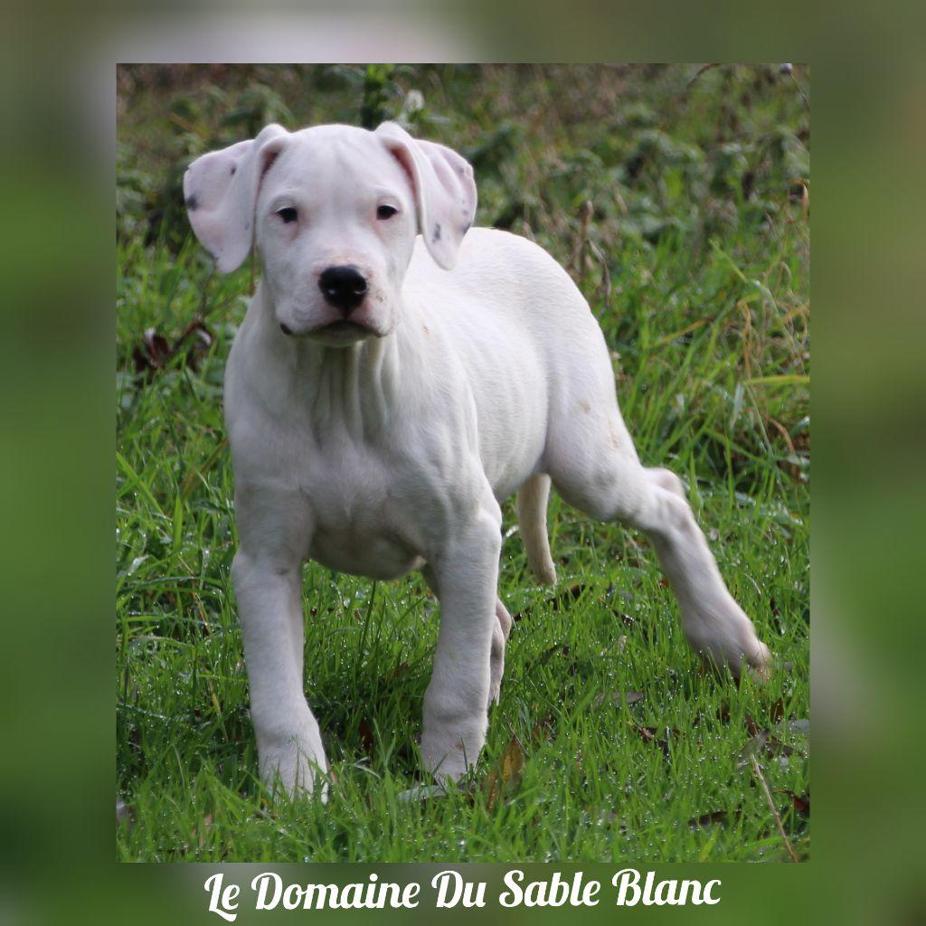 Omar du Domaine du Sable Blanc Dogo Argentino