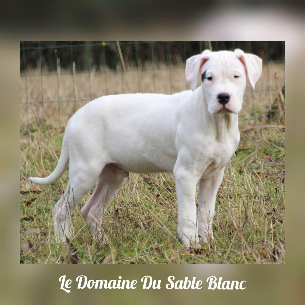 Orlando du Domaine du Sable Blanc Dogo Argentino