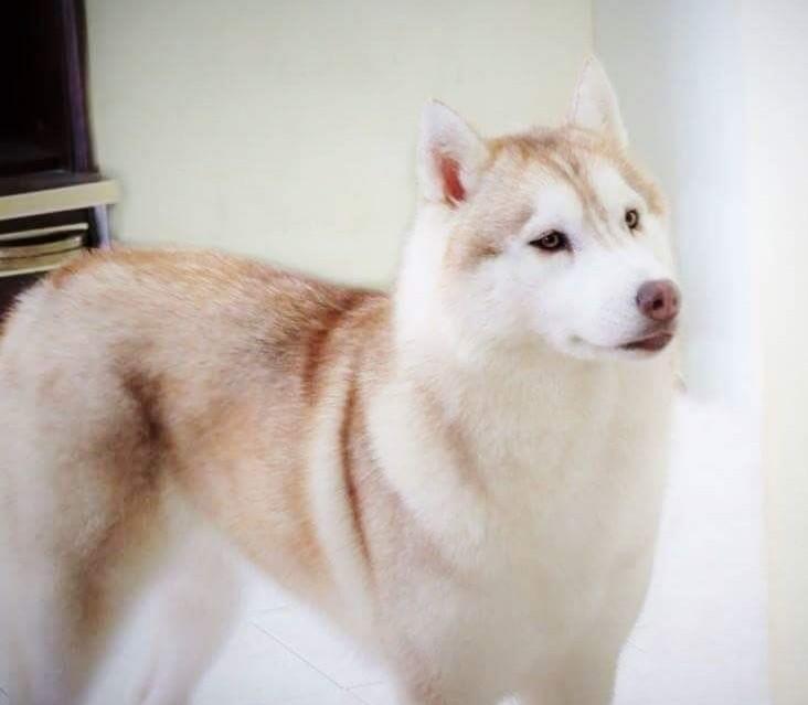 Diamond princess srebro polnocy Siberian Husky
