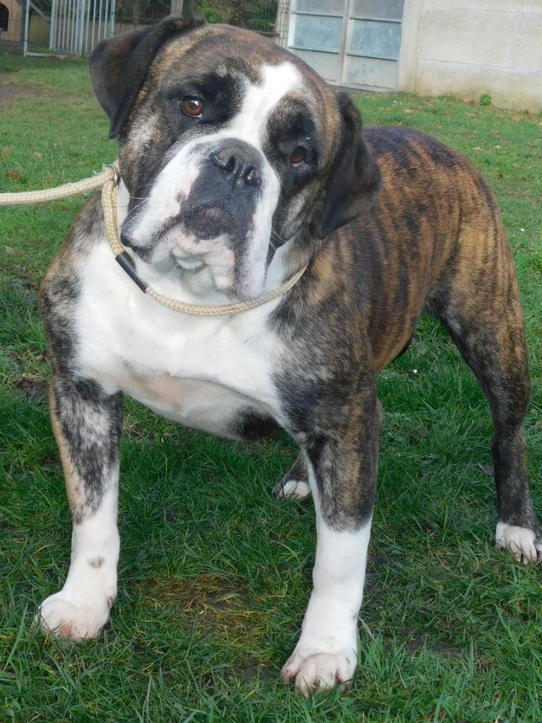 Les Bulldog continental de l'affixe du Royal Belvédère