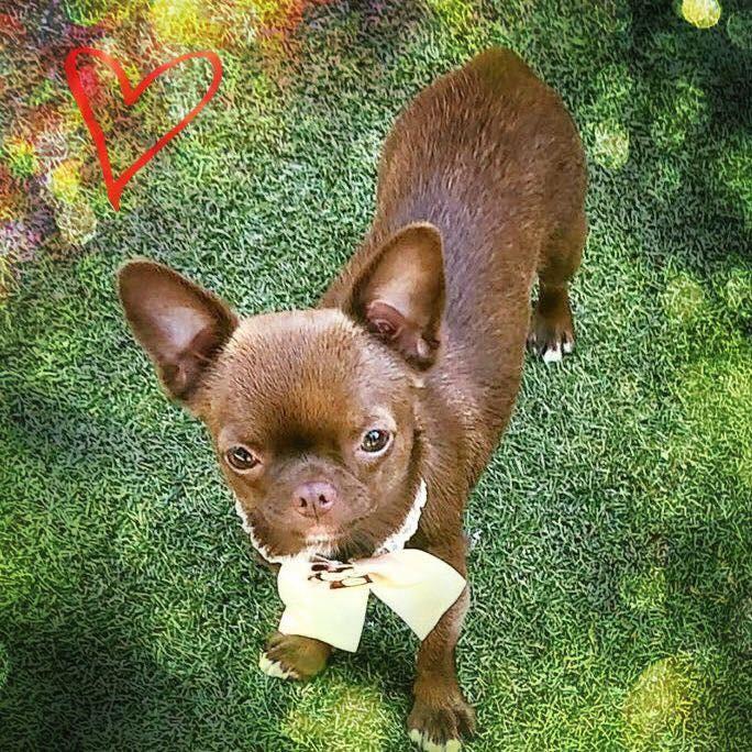 Les Chihuahua de l'affixe des Petites Merveilles d'Aurore