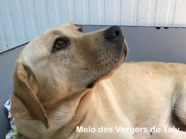 Melo des Vergers de Taly Labrador Retriever