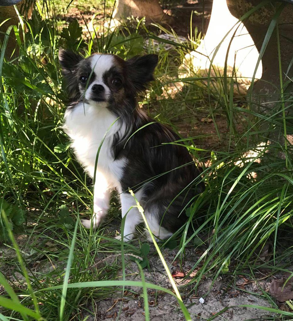 Les Chihuahua de l'affixe du Royaume d'Hautecour
