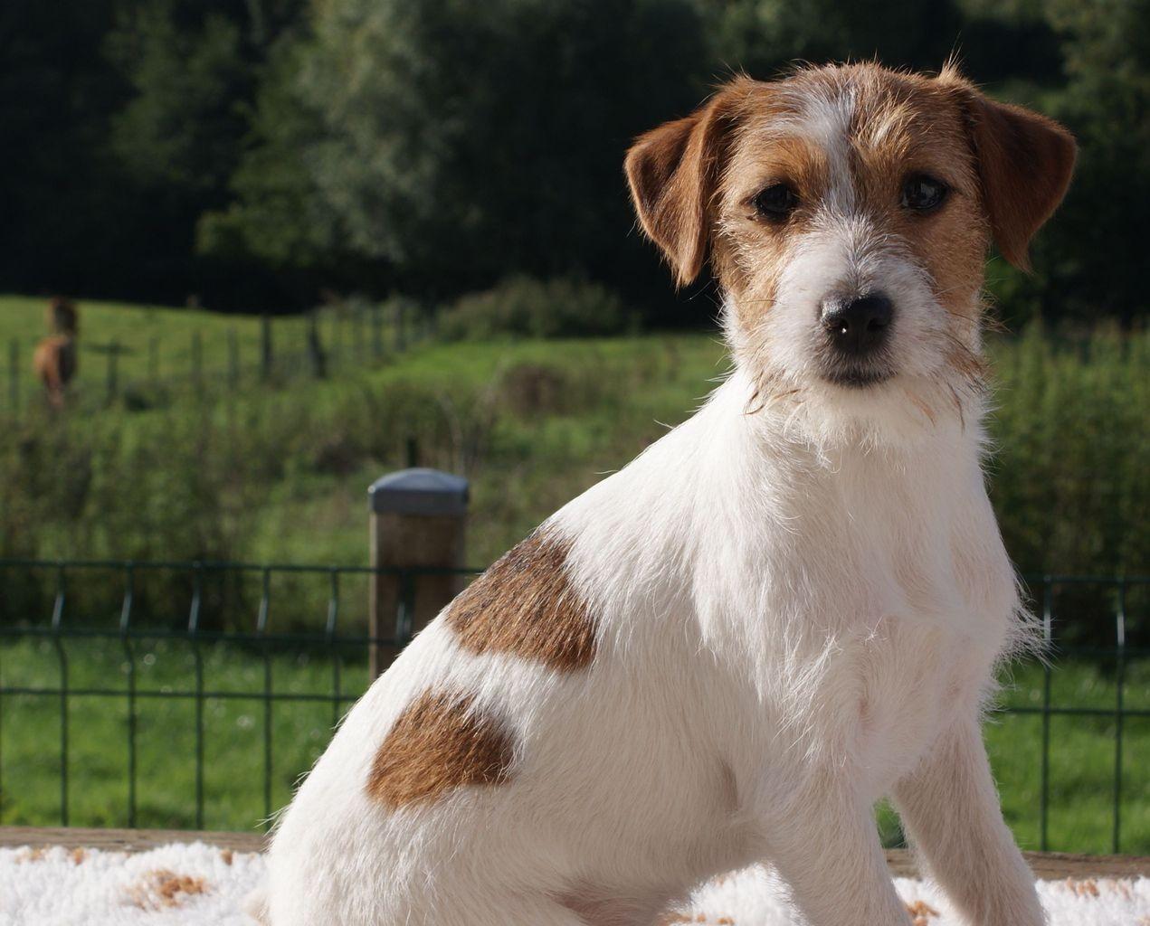 Les Jack Russell Terrier de l'affixe Des Adrilines d'Opale