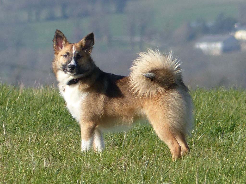 Le chien de berger islandais Chiens-Berger-islandais-43901514-5d2e-e174-f593-75d49281a192_min