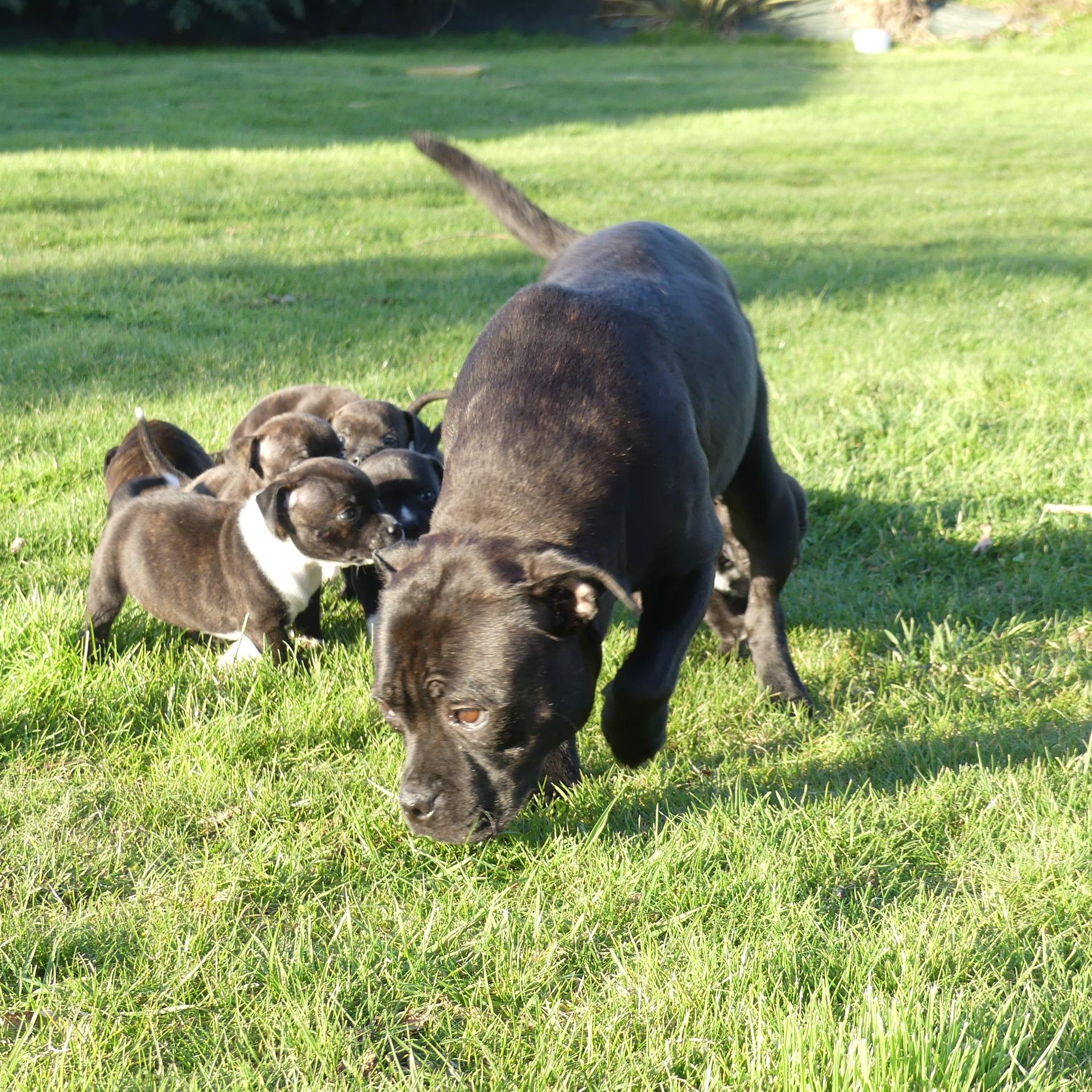 Les Staffordshire Bull Terrier de l'affixe Land van mechelaar