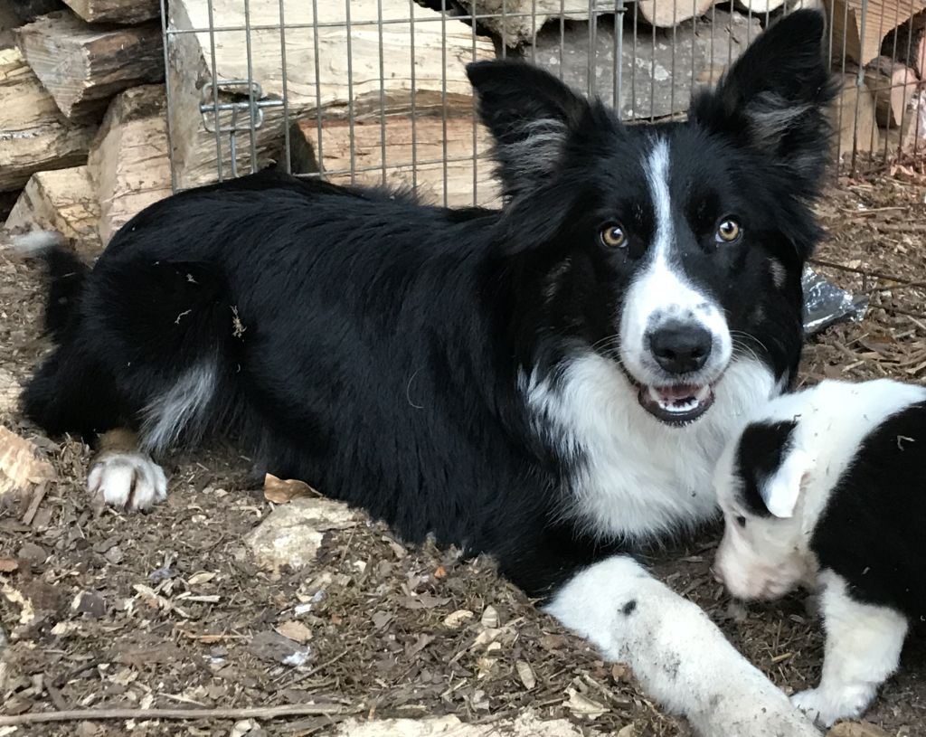 Border Collie - Lytoux's Spirit Ouria