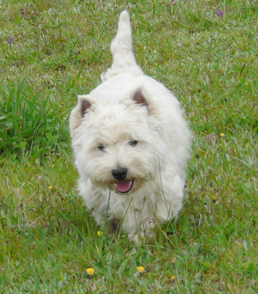 Le Standard de la race West Highland White Terrier sur Atara.com