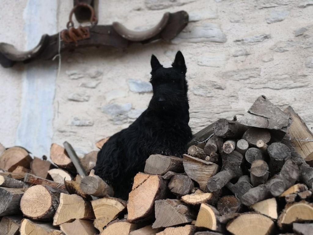 Les Scottish Terrier de l'affixe au Clos d'Autrefois