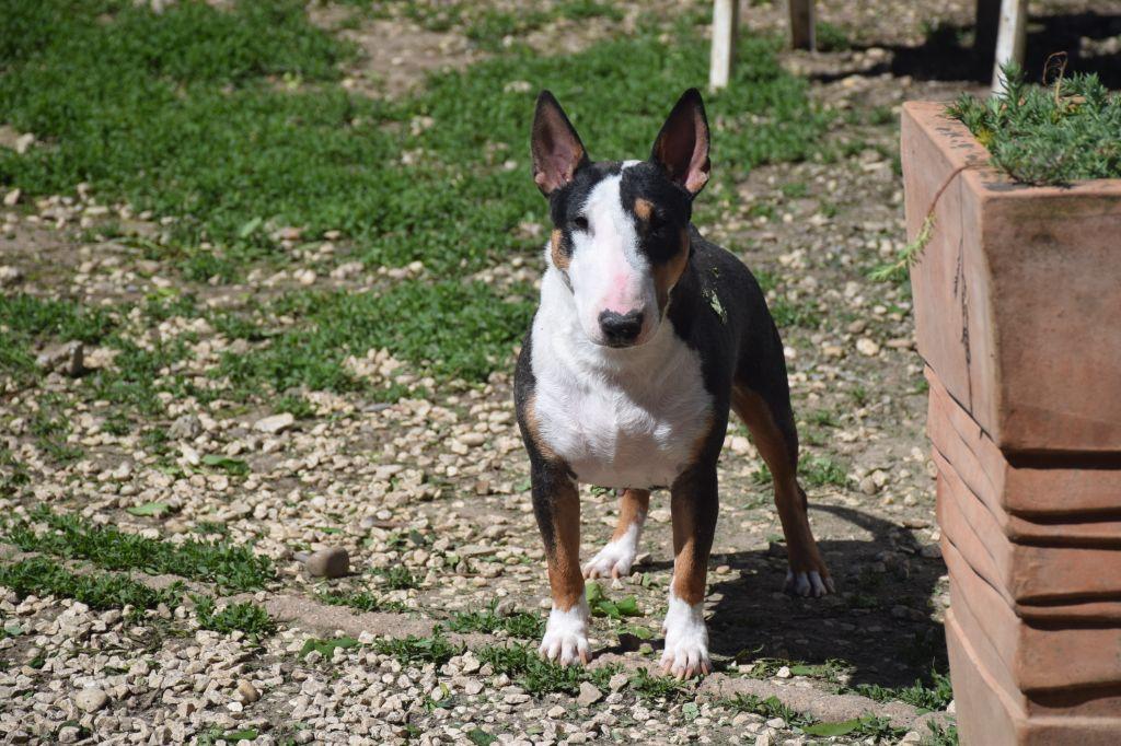Les Bull Terrier Miniature de l'affixe Blue Best