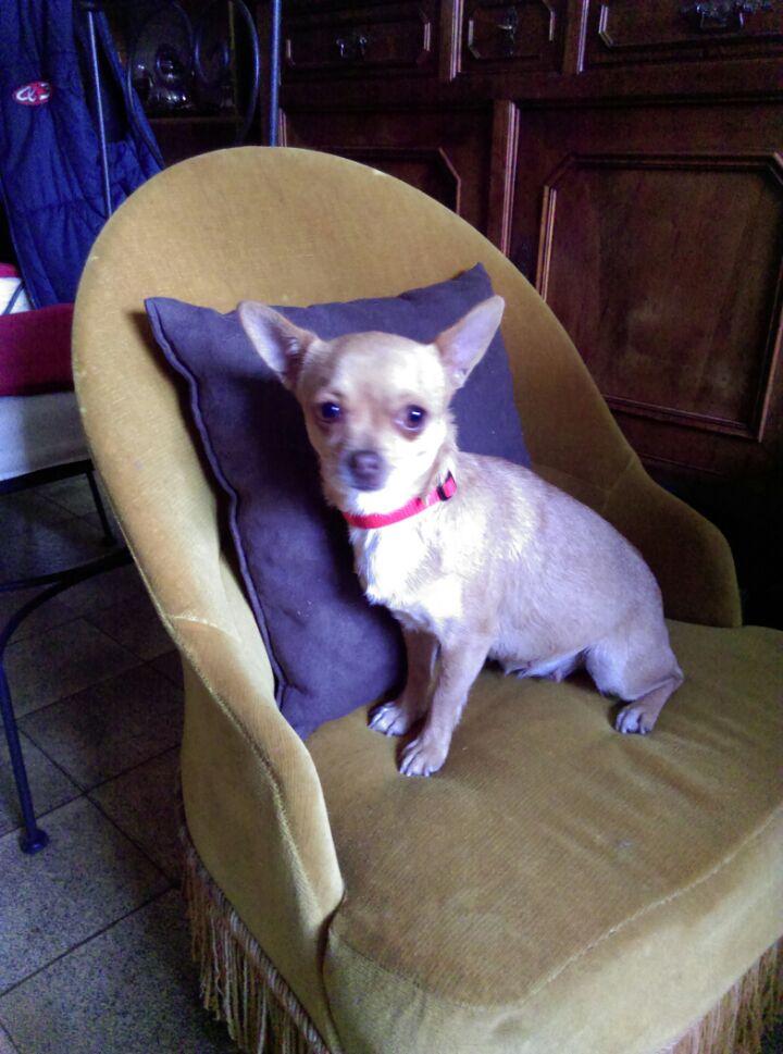 Les Chihuahua de l'affixe De Saulieut