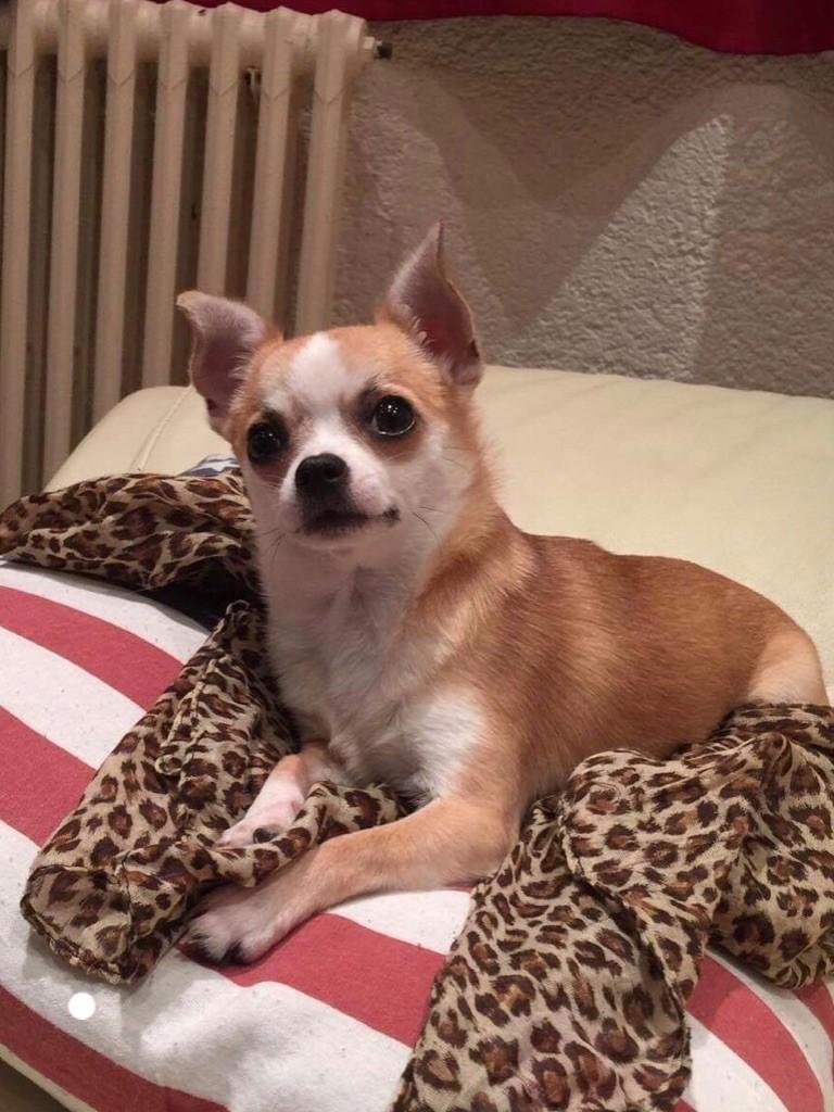 Les Chihuahua de l'affixe of Belair Family