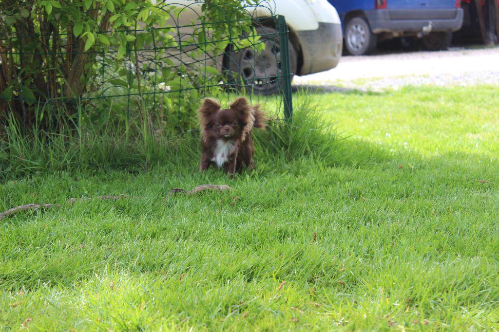 Les Chihuahua de l'affixe de la cour aux Paons