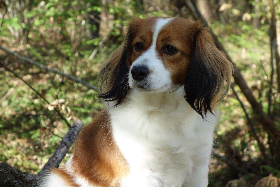 Les Petit chien hollandais de chasse au gibier d'eau de l'affixe Des Grandes-duchesses De Pouchkine