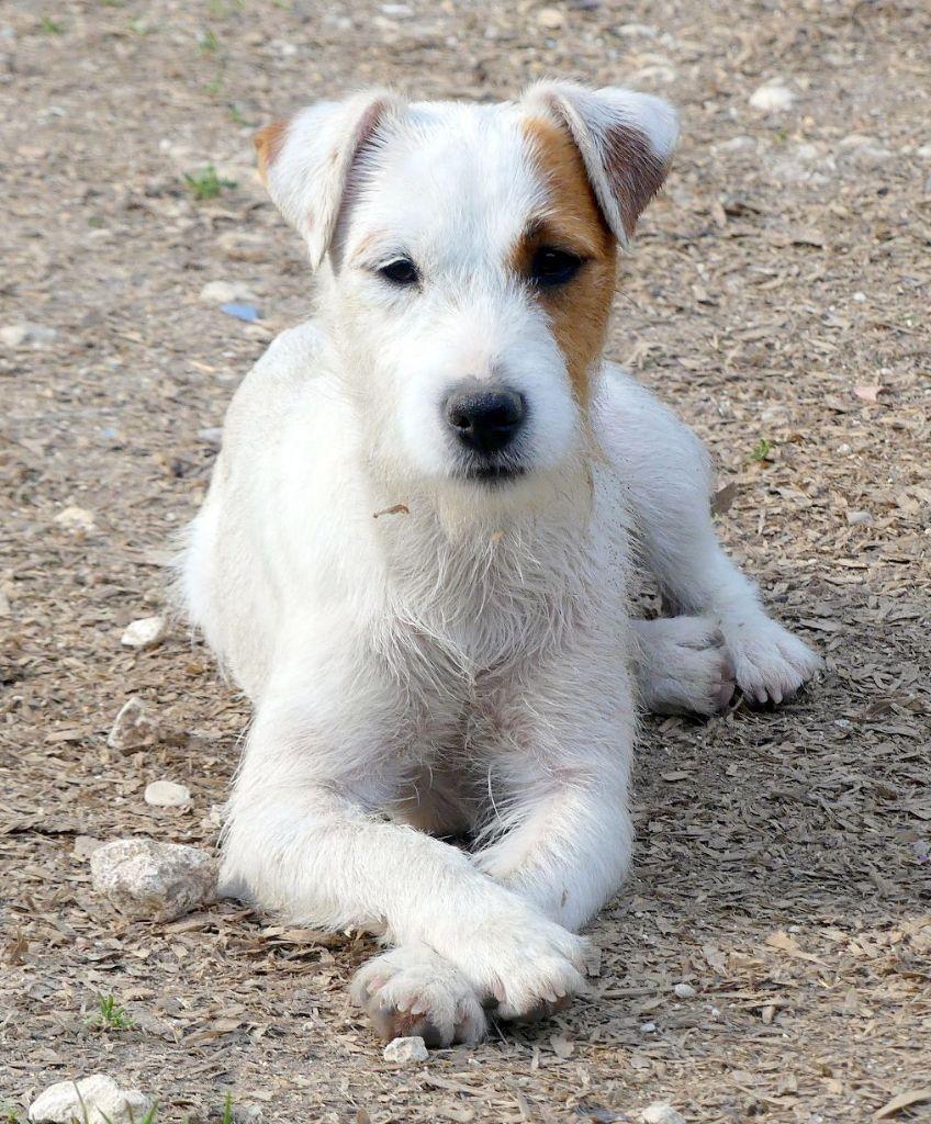 Les Parson Russell Terrier de l'affixe Des petites nouches