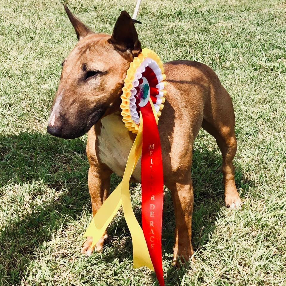 Les Bull Terrier Miniature de l'affixe Dreams Maker's