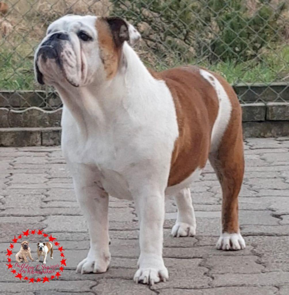 Les Bulldog Anglais de l'affixe Du Kamishibai