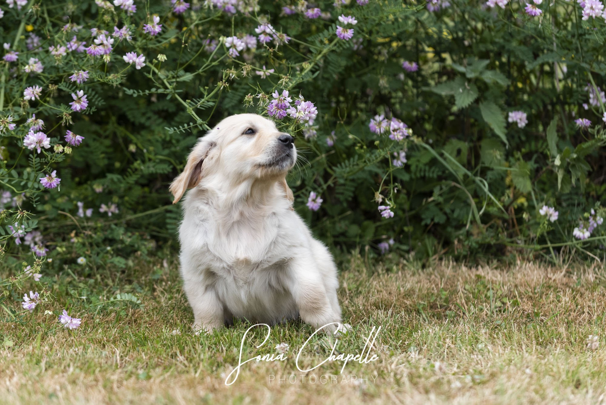 Golden Retriever - Sora for os'mose (kama) the Field of Angels