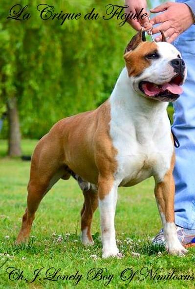 Les American Staffordshire Terrier de l'affixe De la crique du Flojule