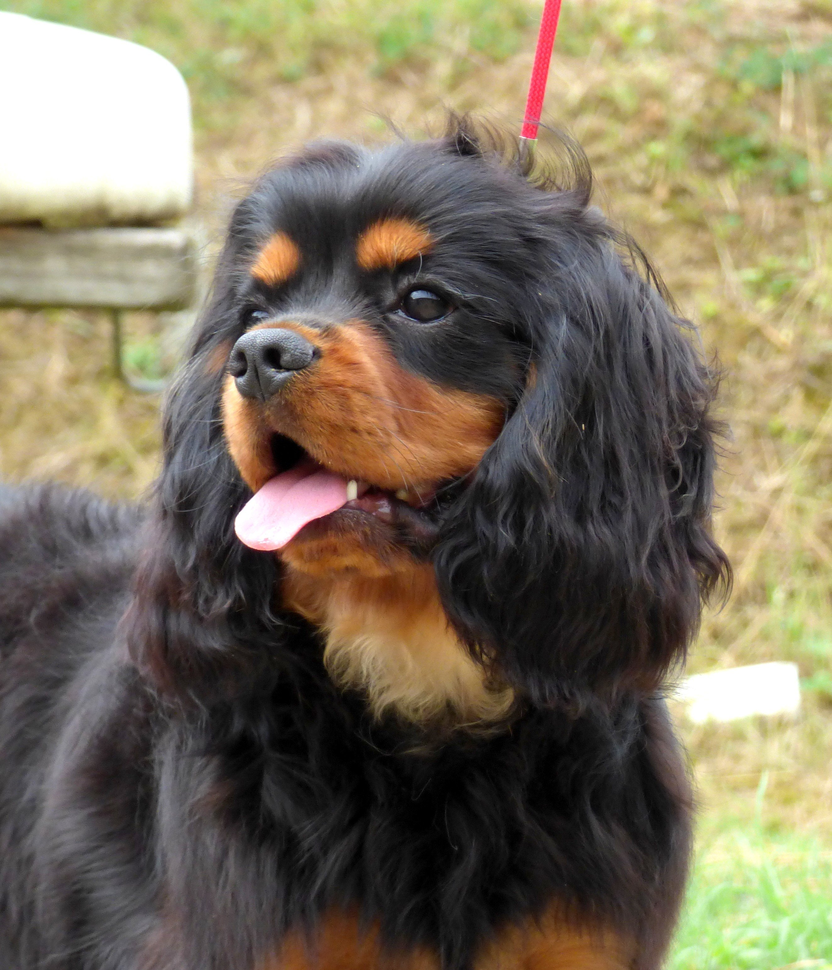 Cavalier King Charles Spaniel - royal charm protege de began My lord