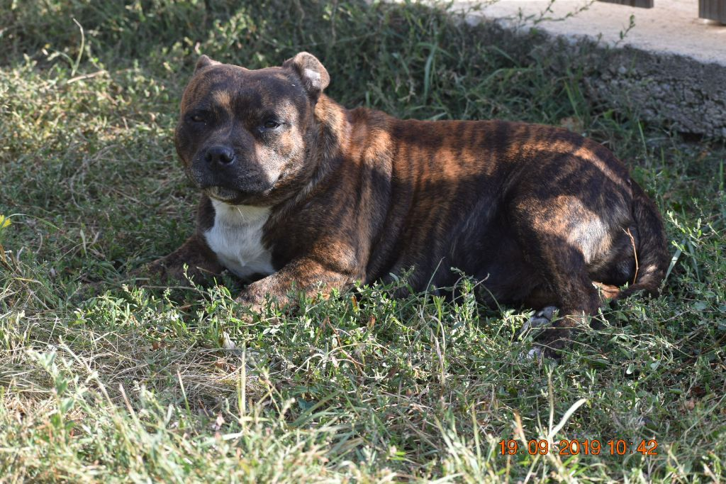 Les Staffordshire Bull Terrier de l'affixe breeding deluxe