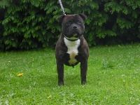 Night harlequin the king of black staffie