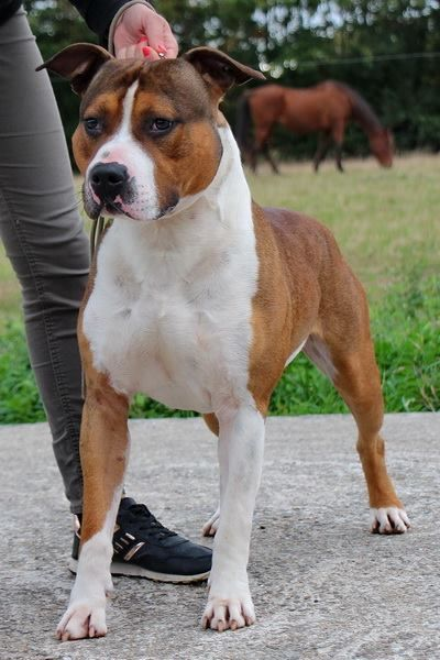 American Staffordshire Terrier - Mg power un amour de molosse
