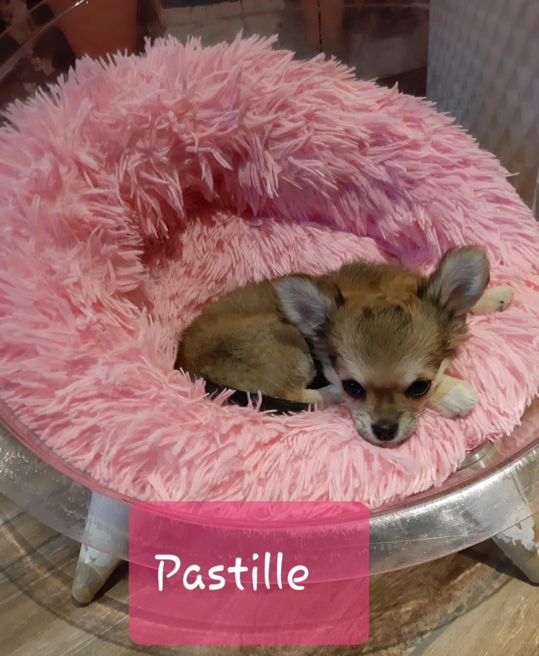 Les Chihuahua de l'affixe du Moulin des Wheatens